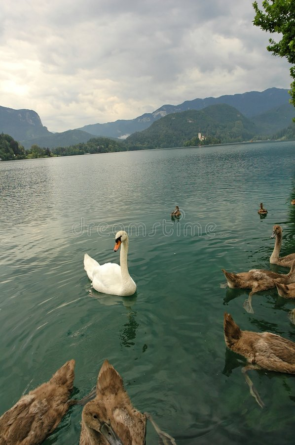 Youngs swans in lake Bled stock photography
