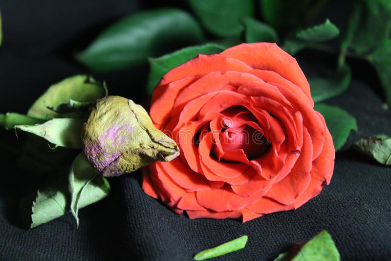 Youth and old age, the comparison of roses stock image