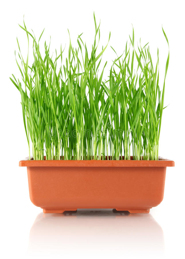 Download Youthful Sucker Wheat In Brown Pot Stock Image - Image: 23610921