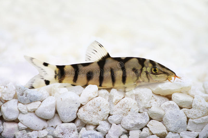 Yoyo loach Almora loach or Pakistani loach, Catfish Botia almorhae. On ground royalty free stock image