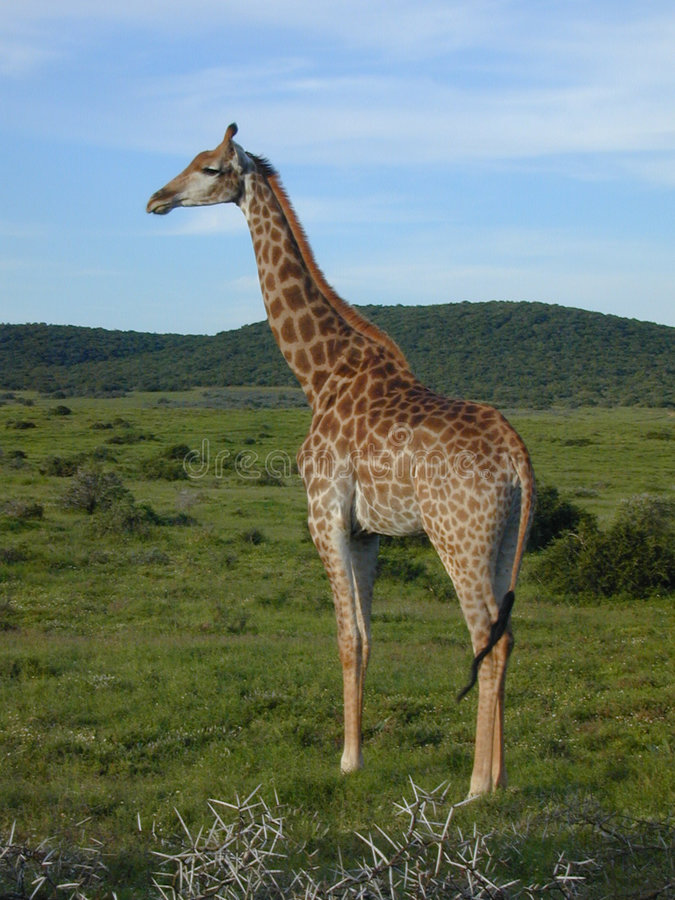 Download żyrafa zdjęcie stock. Obraz złożonej z zwierzę, przyroda - 32888
