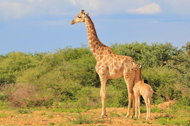Żyrafa - Afrykański przyrody tło - Kochająca mama obraz stock