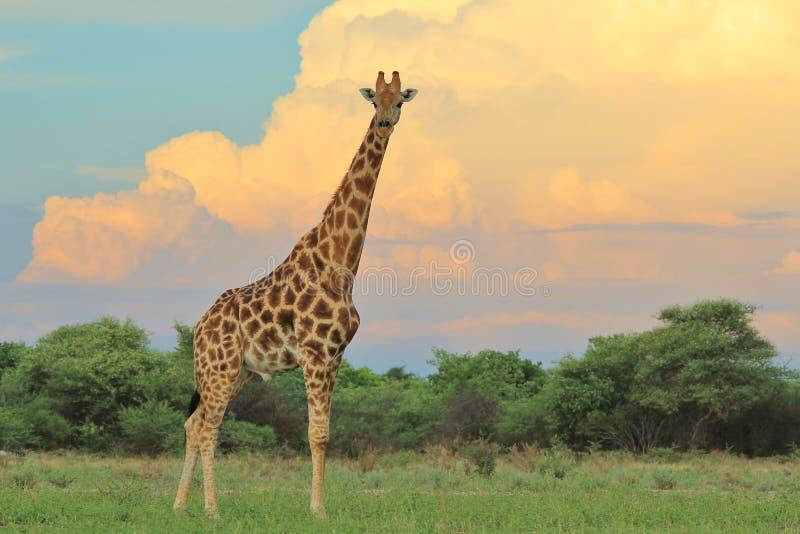 Żyrafa - Afrykański przyrody tło - lato burza kolor zdjęcie royalty free