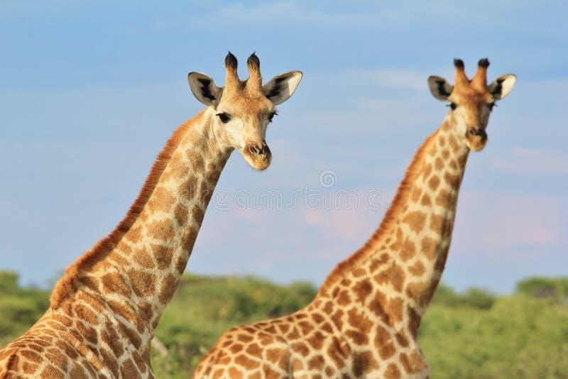 Żyrafa - Afrykański przyrody tło - Sprzężony wzór obrazy stock