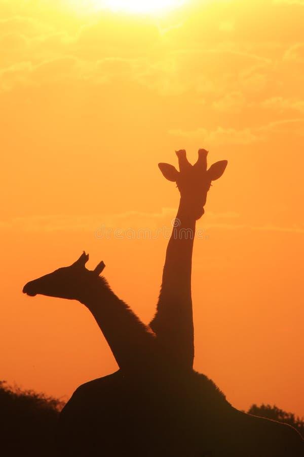 Żyrafa - Afrykański przyrody tło - sylwetka miłość obrazy royalty free