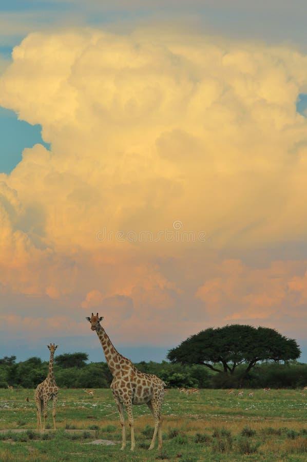 Żyrafa - Afrykański przyrody tło - W burzę kolor obrazy royalty free