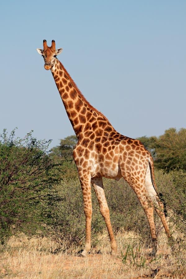 Żyrafa byk obrazy stock