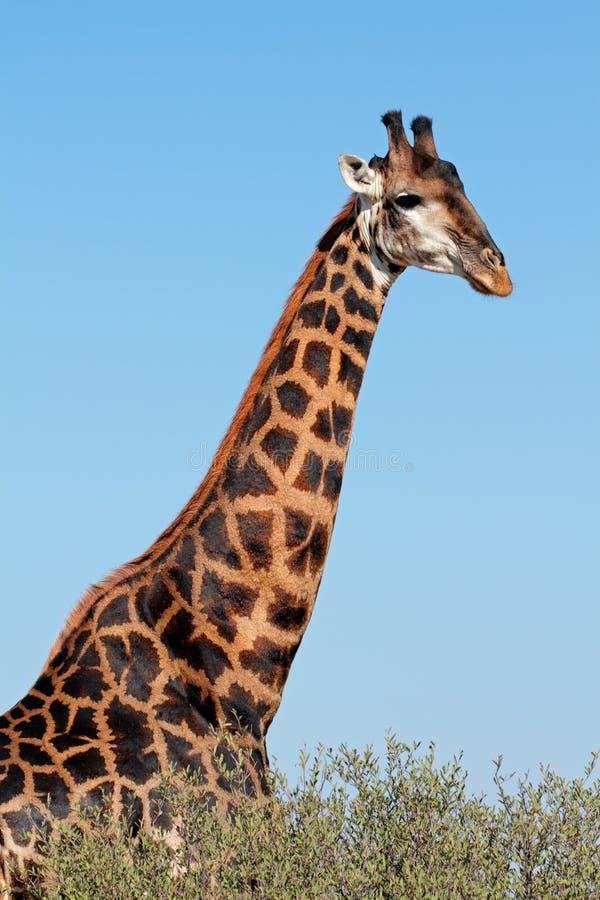 Żyrafa byka portret obrazy stock