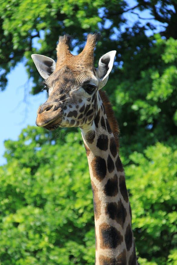 Download Żyrafa ogląda kamerę zdjęcie stock. Obraz złożonej z długi - 57664914