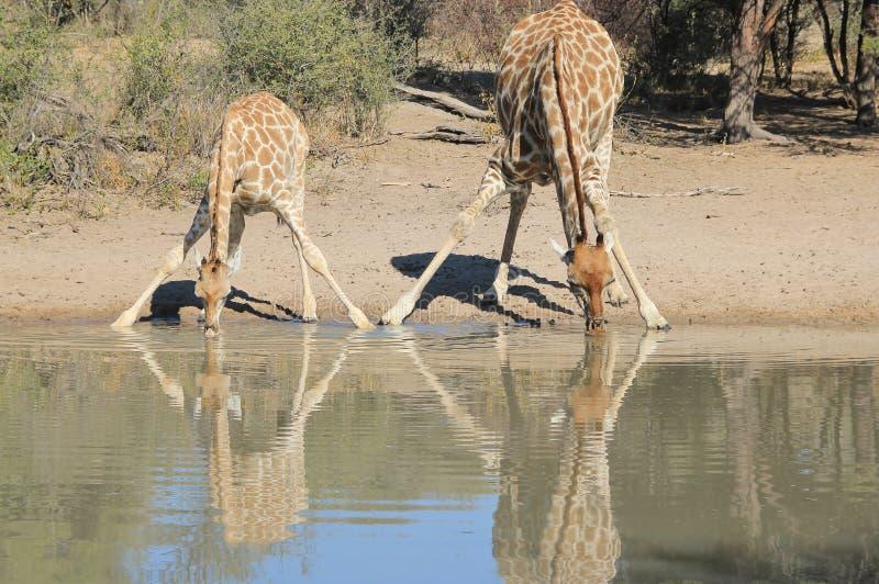 Żyrafa - przyroda od Afryka - Zwierzęce mamy 2 i dzieci obrazy royalty free