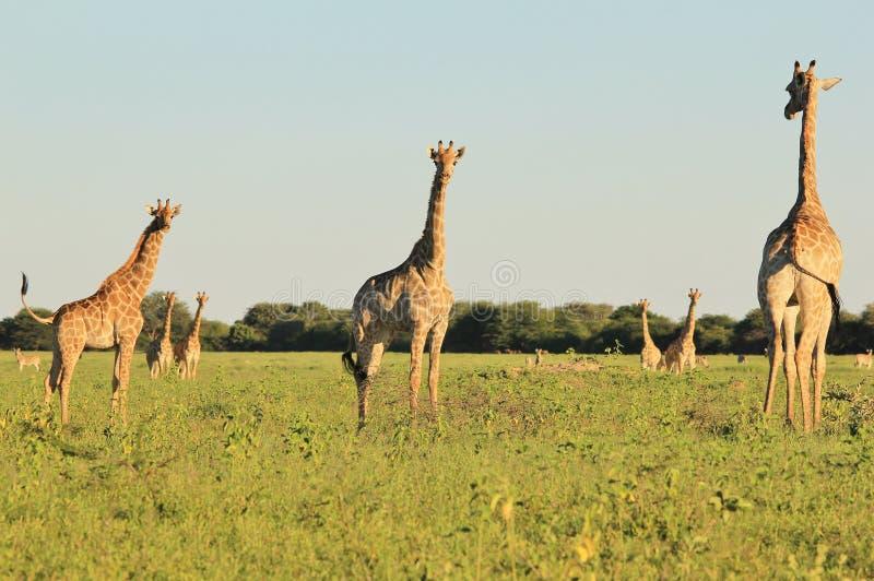 Żyrafa - przyroda, Piękne pary fotografia stock