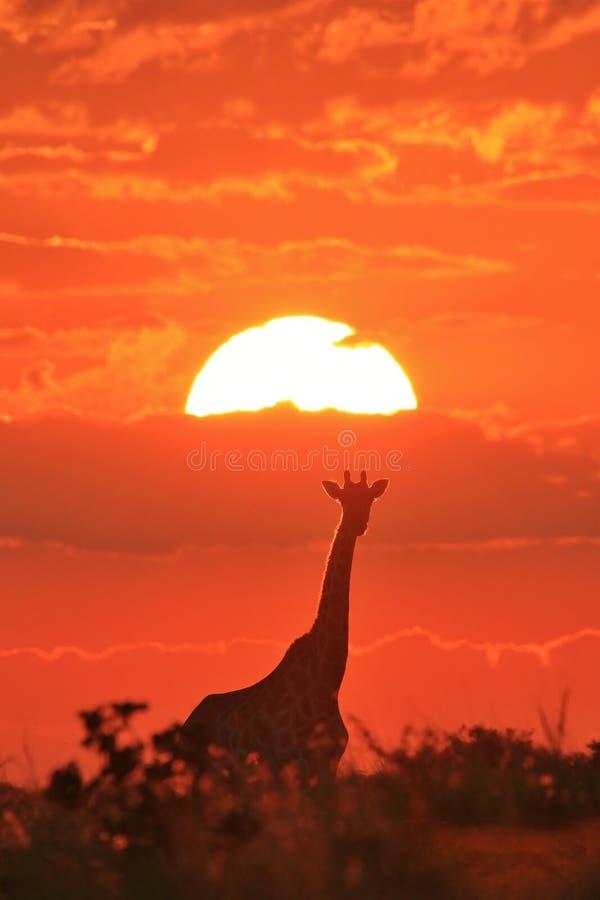 Żyrafa - przyrody tło - Czerwona natura i Złoci zmierzchy fotografia royalty free