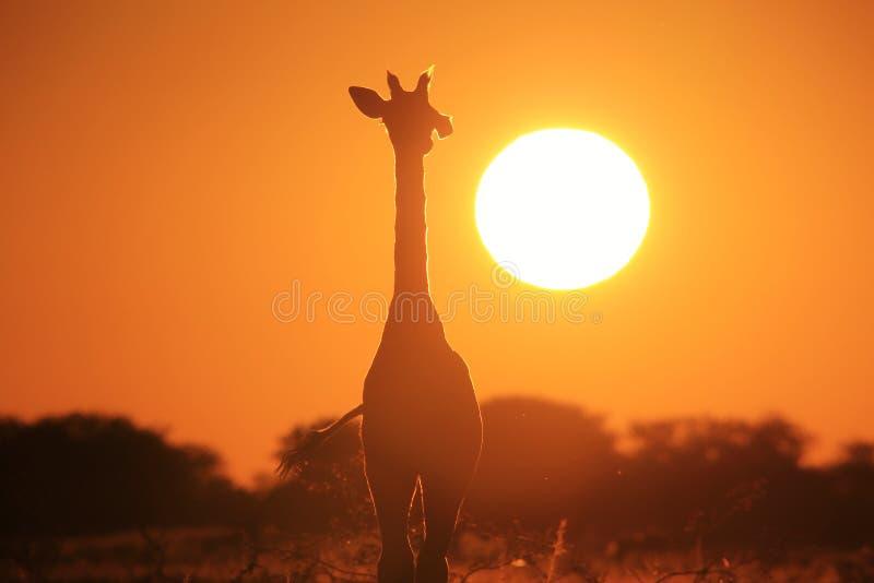 Żyrafa - przyrody tło - Rozjarzona samotność złoto obrazy royalty free