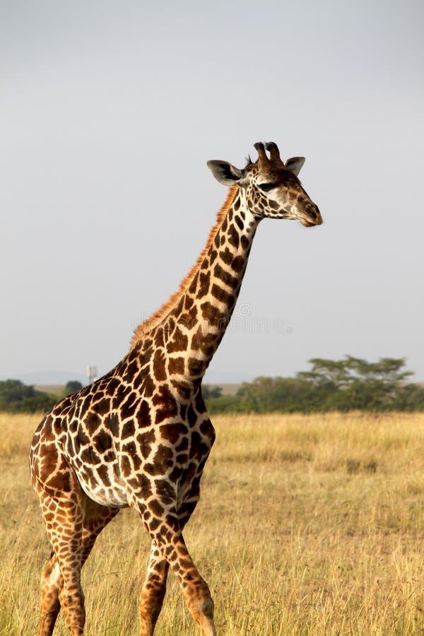 Żyrafa w Afryka fotografia royalty free