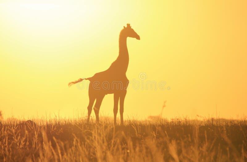 Żyrafa zmierzchu Złota sylwetka - przyrody piękno od wilds Afryka i tło. obrazy stock
