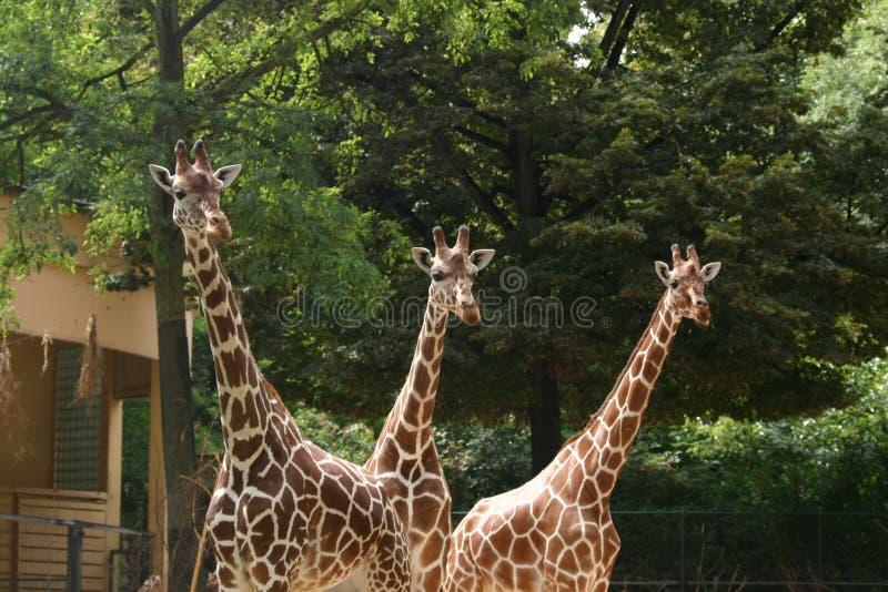 Download żyrafy 3 obraz stock. Obraz złożonej z herbivores, ostrzeżenie - 215765