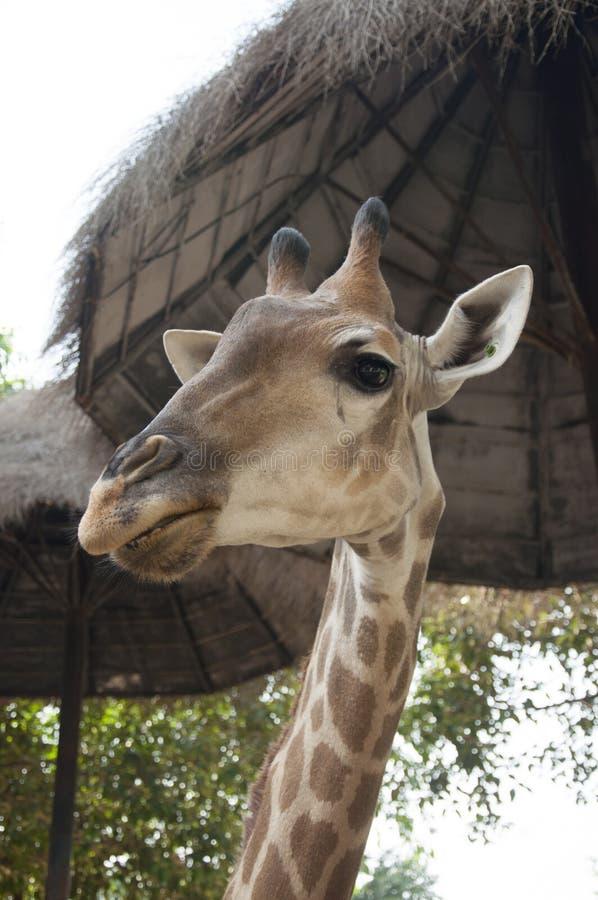 Żyrafy gapienie zdjęcia stock