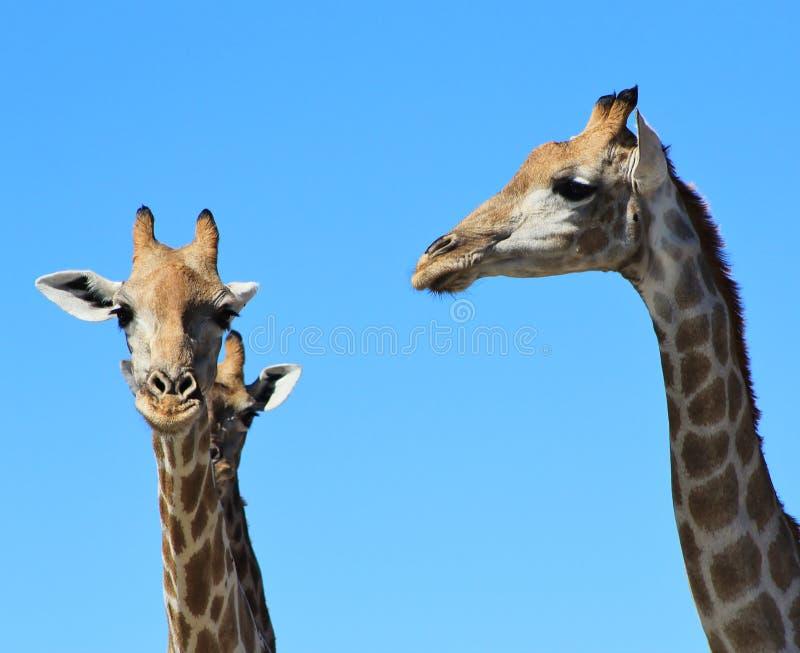 Żyrafy gapienie niebieskie nieba i Afrykański słońce - fotografia stock