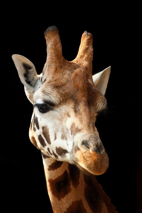 Żyrafy Headshot zdjęcie stock