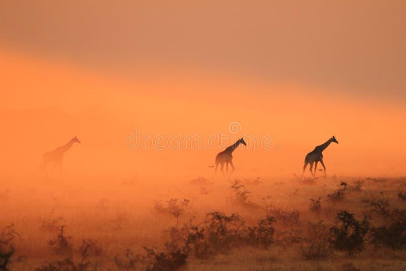 Żyrafy ikona Z pyłu - Afrykański przyrody tło - zdjęcia royalty free