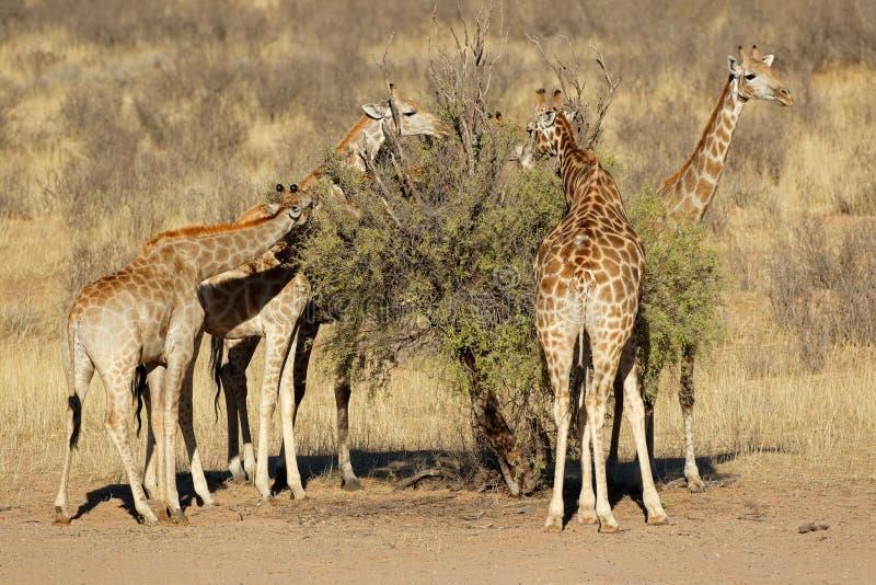 Żyrafy karmi na drzewie fotografia stock