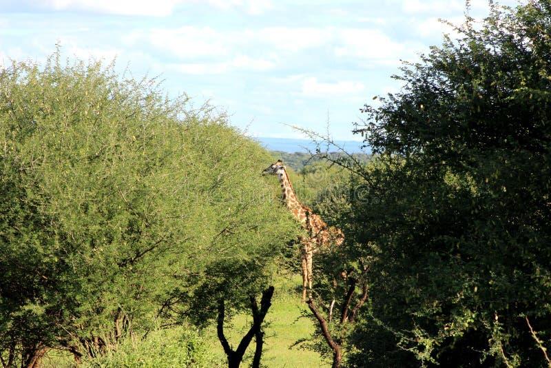 Żyrafy karmienie, Tanzania obraz royalty free