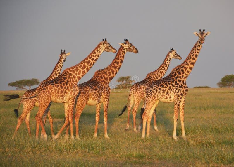 Żyrafy na równinach w Afryka fotografia stock