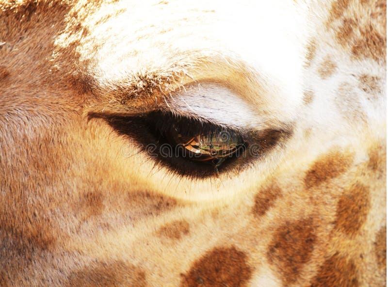 Żyrafy oko zdjęcie stock