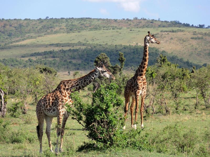 Żyrafy para na sawannie fotografia stock