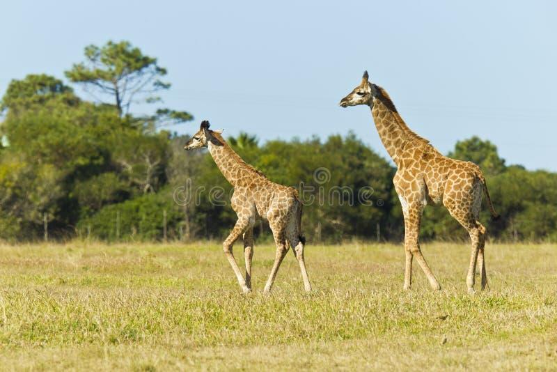 Żyrafy pary odprowadzenie fotografia royalty free