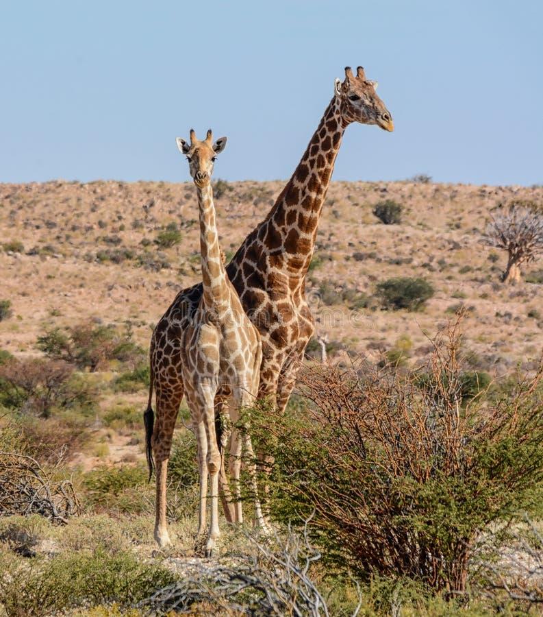 Żyrafy pary portret fotografia stock
