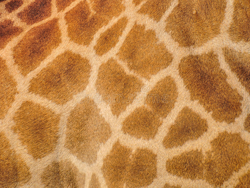 Żyrafy skóra obrazy royalty free