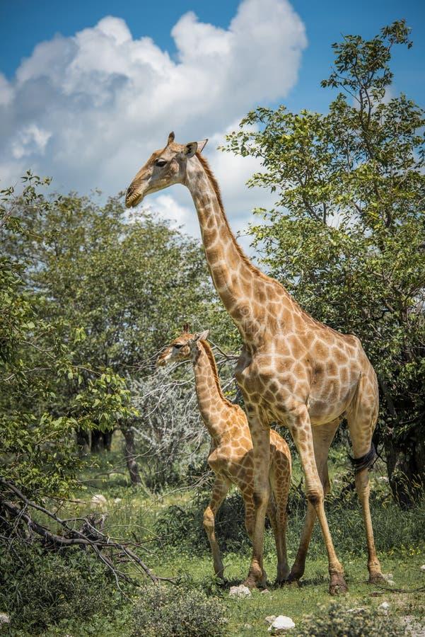 Żyrafy w Etosha parku narodowym, Namibia zdjęcia stock