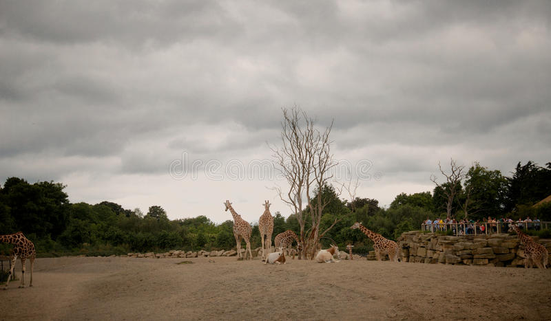 Żyrafy w góry Kenja parku narodowym obrazy royalty free
