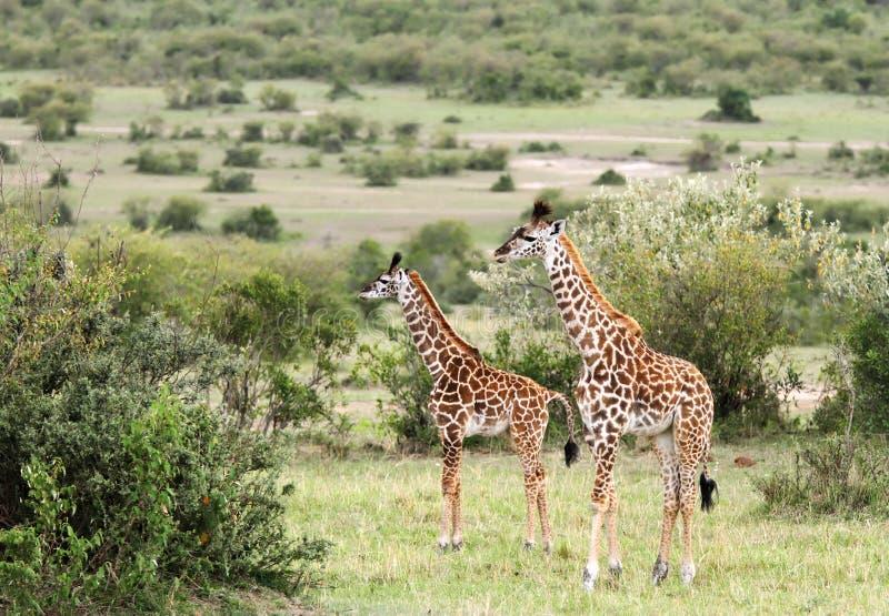 Żyrafy w krzakach sawanny fotografia stock