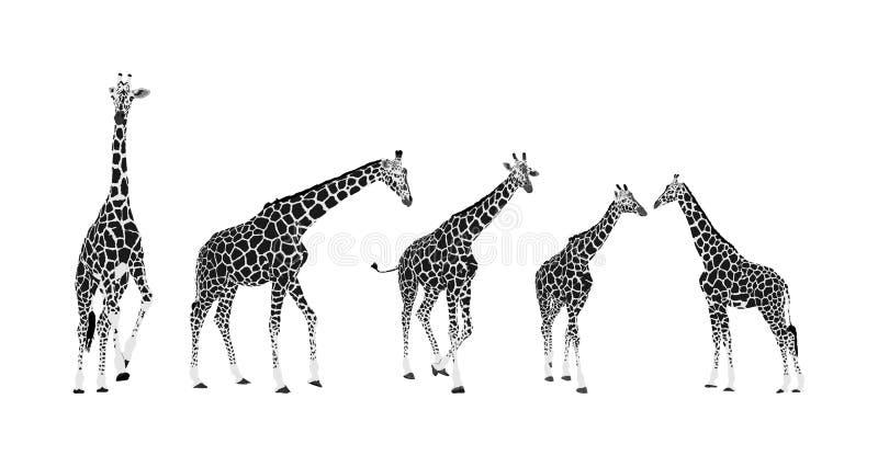 ?yrafy wektorowa ilustracja odizolowywaj?ca na bia?ym tle zwierz? afryka?skiej Wysoki zwierz? Safari wycieczki przyci?ganie Duzi  royalty ilustracja