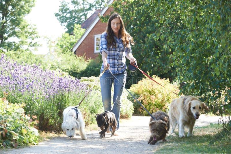 Yrkesmässig hund Walker Exercising Dogs In Park royaltyfri fotografi