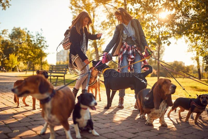 Yrkesmässig hundfotgängare som tycker om med hundkapplöpning, medan gå utomhus royaltyfri foto
