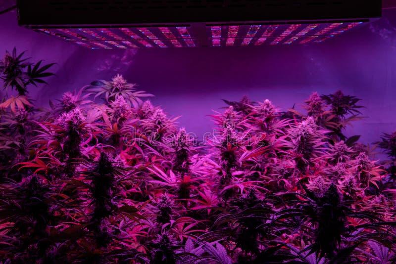 Yrkesmässig växande cannabis i Amerika Starkast marijuanabelastningar för medicinskt bruk royaltyfria bilder