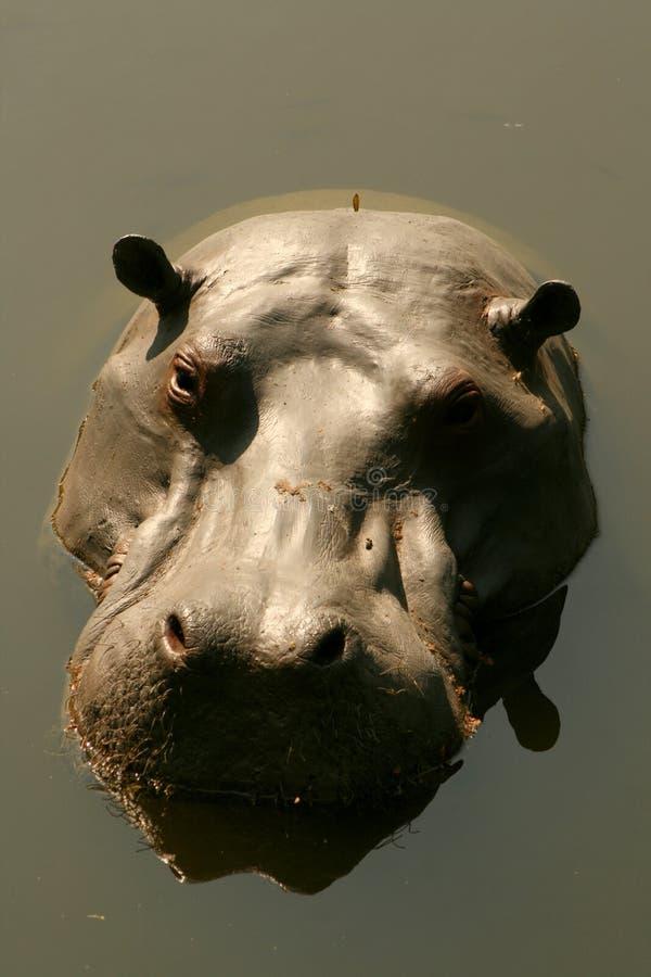 ytbehandla för flodhäst royaltyfri fotografi