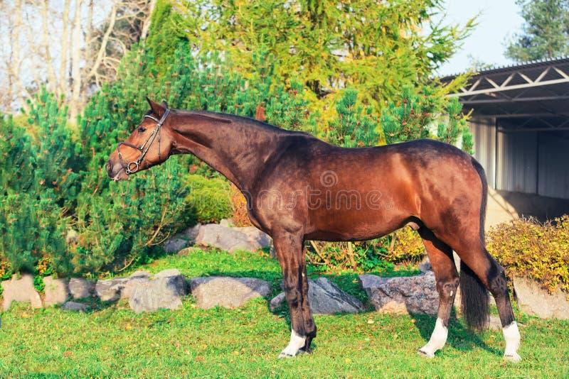 Yttersida av den sportive warmbloodhästen som poserar i trevligt ställe royaltyfria foton