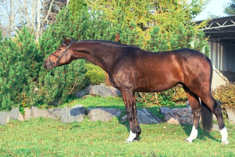Yttersida av den sportive warmbloodhästen som poserar i trevligt ställe royaltyfri fotografi