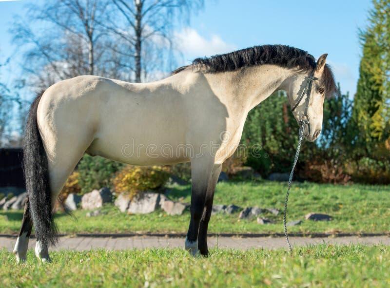 Yttersida av denhjortläder welsh ponnyn fotografering för bildbyråer