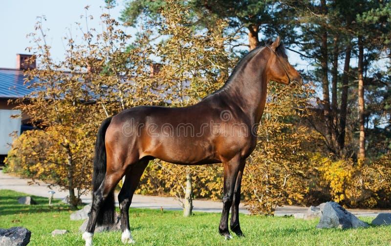 Yttersida av för welsh för mörk fjärd den sportive hingsten ponny royaltyfri fotografi