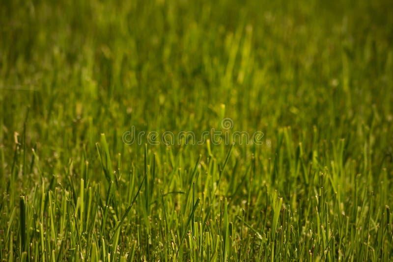 Yttersida av fattig-klippt gräsmatta, mjuk fokus royaltyfria bilder