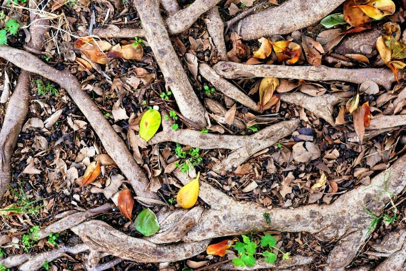 yttersidan av jorden, plexus rotar av träd, bruna stupade sidor, och gult, brunt och grå färger rotar, lite av gräs royaltyfri bild