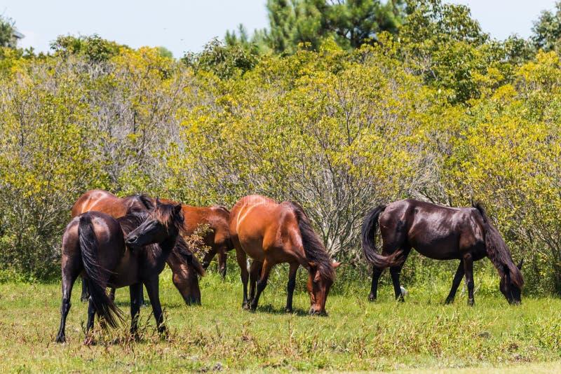Yttre bankflock av vildhästar i Corolla, NC royaltyfri foto