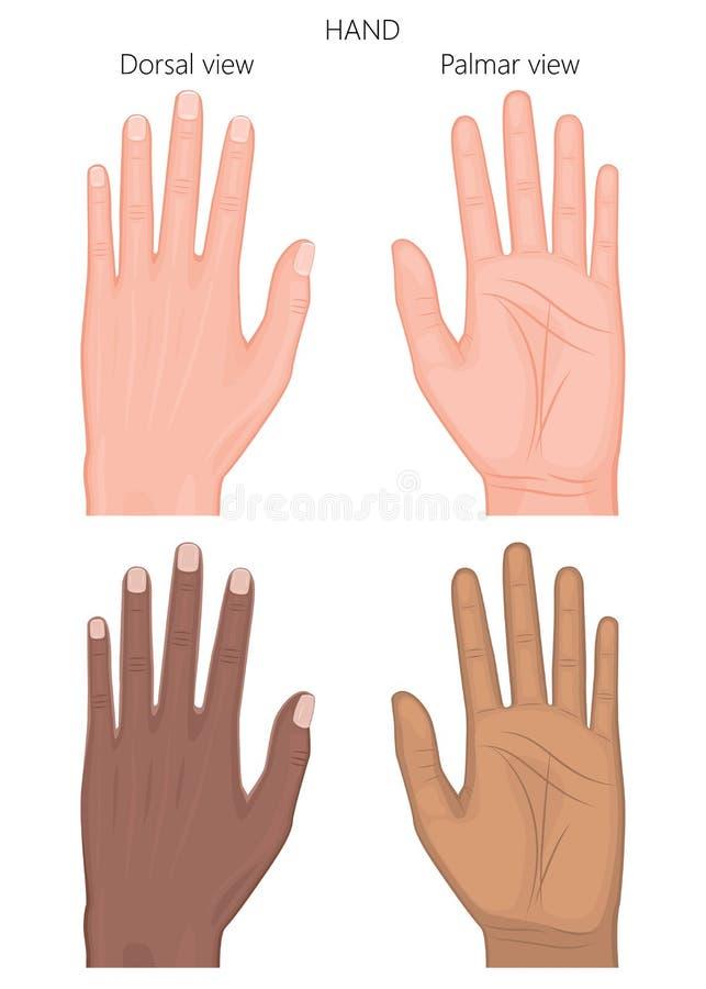 Yttre och sleketal wiew av hand_European och afrikanska amerikanen vektor illustrationer