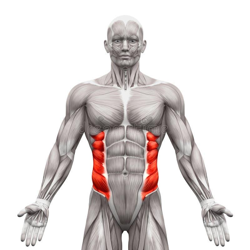 Yttre sneda muskler - anatomimuskler som isoleras på vit - 3 royaltyfri illustrationer