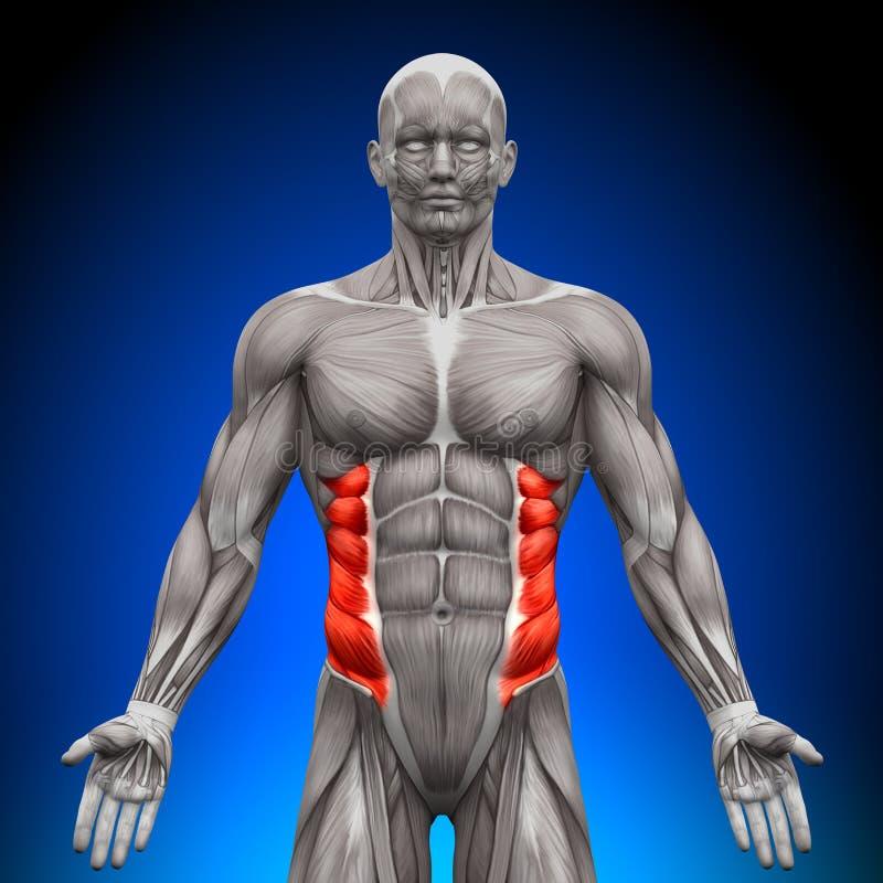 Yttre snett - anatomimuskler royaltyfri illustrationer